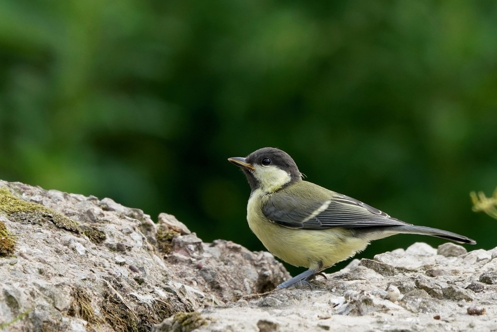 GREAT TIT JUVENILE by markp