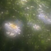5th Jul 2017 - nothing like a daisy
