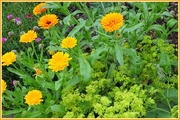 8th Jul 2017 - Marigolds and Lady's Mantle