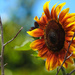 Sunflower by seattlite