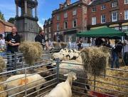 8th Jul 2017 - Sheep Fair