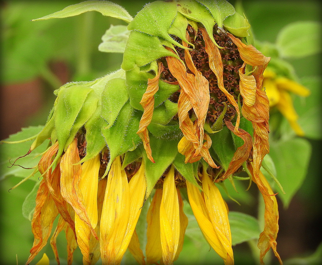 decayingsunflower by homeschoolmom
