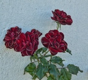 9th Jul 2017 - Deep red roses on a grey day........