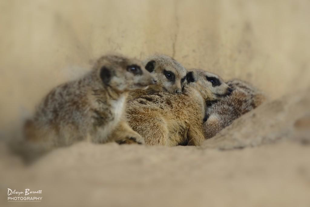 Meerkat huddle by dkbarnett