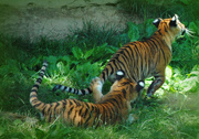 9th Jul 2017 - A Tail of Two Tigers