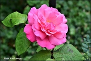 9th Jul 2017 - I wish you could smell this rose