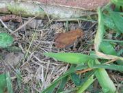 9th Jul 2017 - Red Toad Closeup