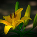 Lilies in Our Garden! by taffy