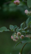 9th Jul 2017 - A blush on the berries