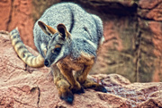 9th Jul 2017 - Yellow-footed Rock-wallaby