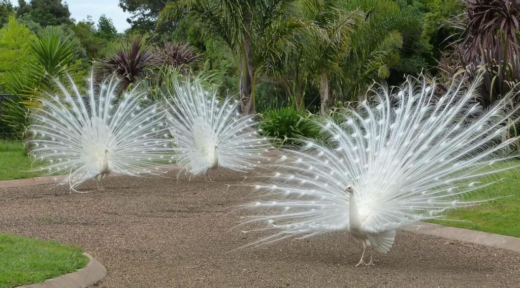 White Peacocks by Dawn