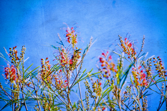 Grevillea by annied
