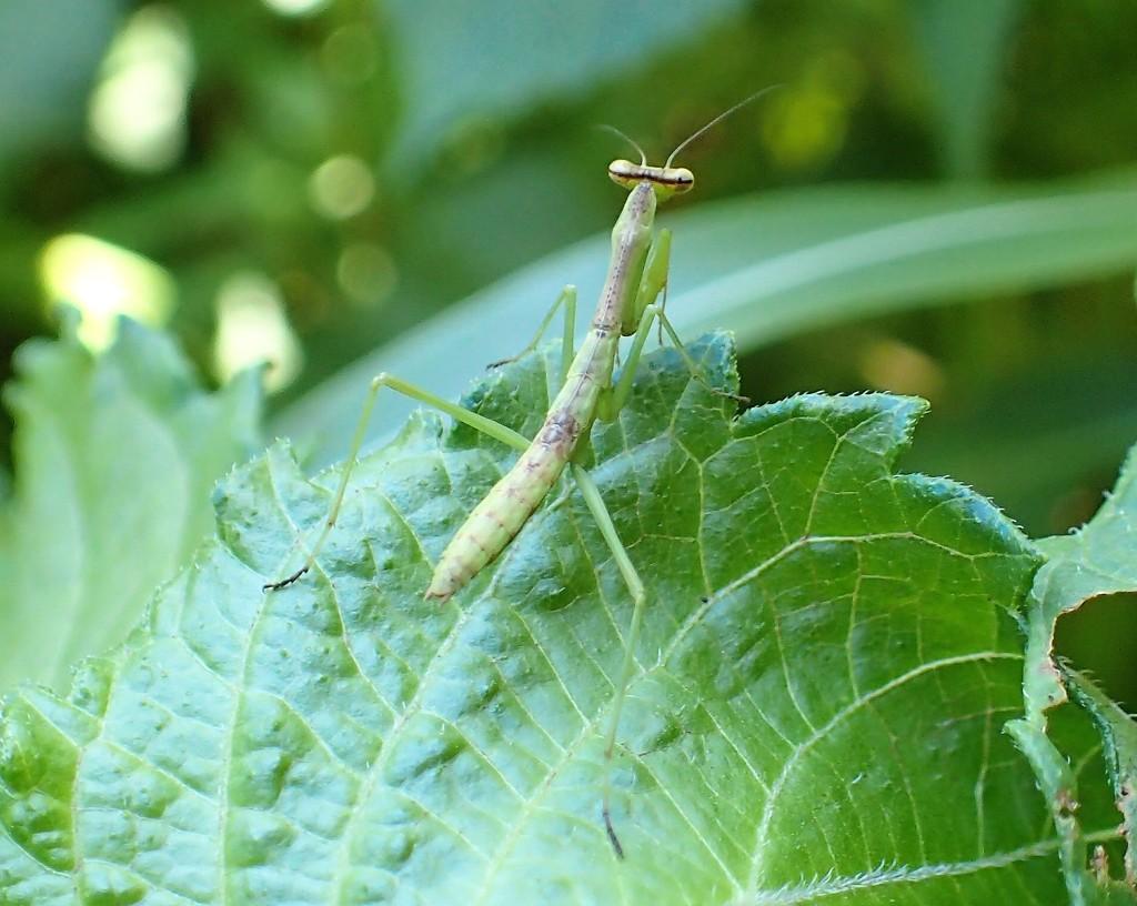 Mantis by cjwhite