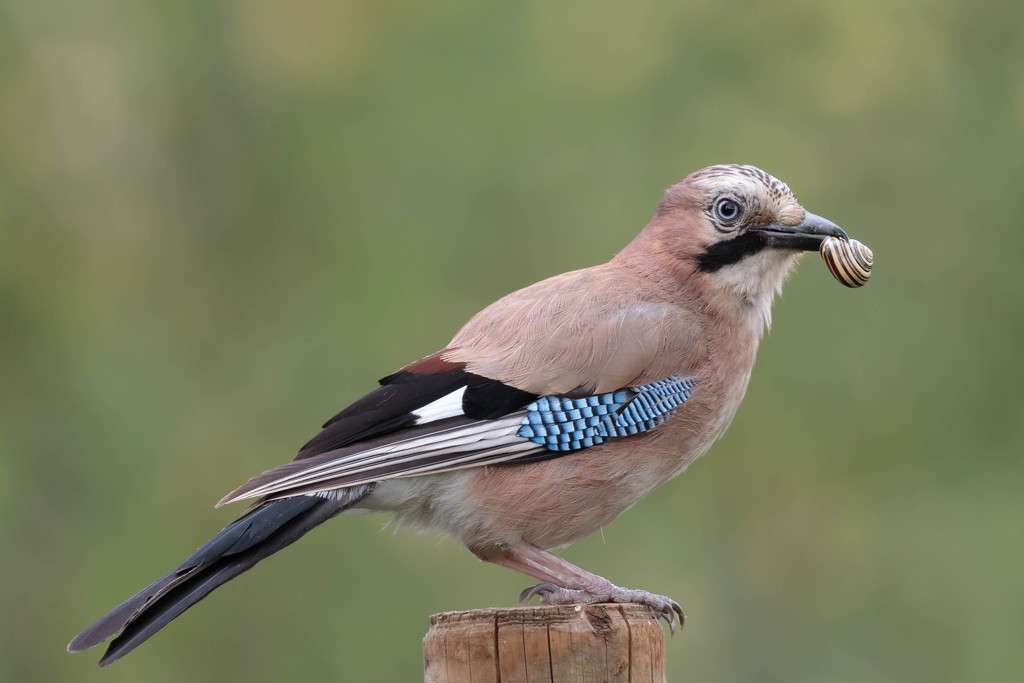 Jay with Snail by padlock