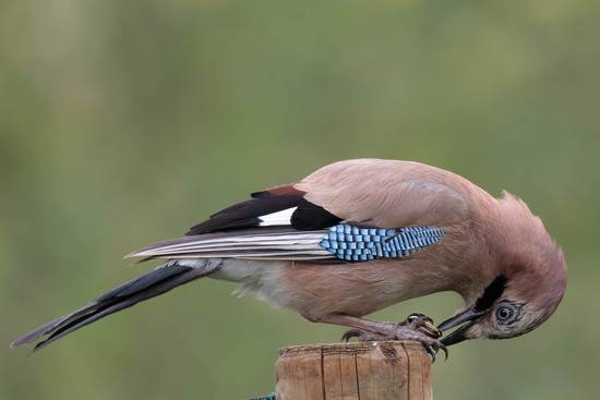 Jay concentrating on Snail!! by padlock