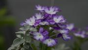 10th Jul 2017 - Verbena 'Wicked Cool Blue'_