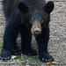 Black Bear by olivetreeann