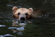 11th Jul 2017 - Kamchatka brown bear