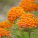 "Butterfly Weed ""Orange Mikweed"" by paintdipper"