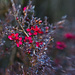 Leptospermum - Nanum Rubrum by annied