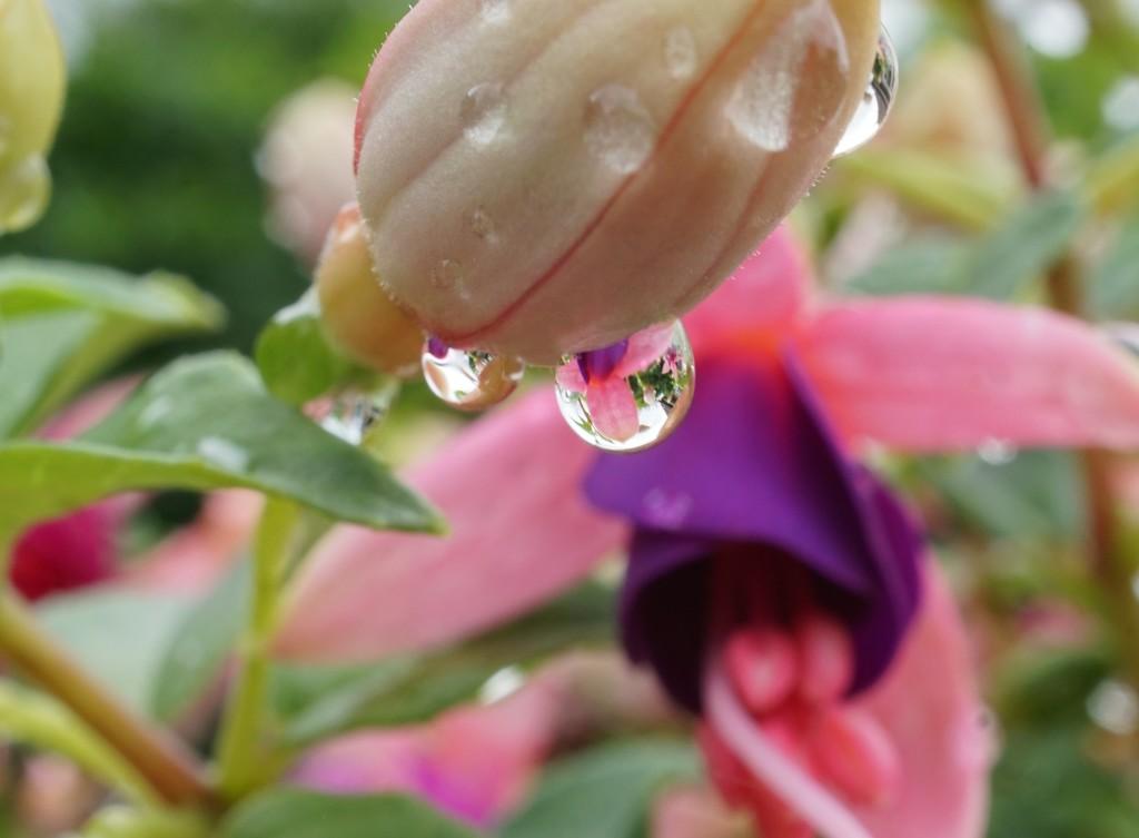 raindrops on fuchsias by quietpurplehaze