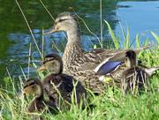 12th Jul 2017 - Quack!
