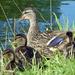 Quack! by cmp