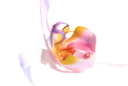 11th Jul 2017 - 2017 07 11 - Orchid on white