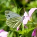 Green Veined White Butterfly by susiemc