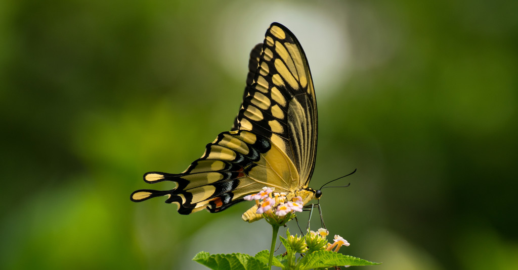 Giant Swallowtail Butterfly!!! by rickster549