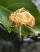 13th Jul 2017 - Cicada