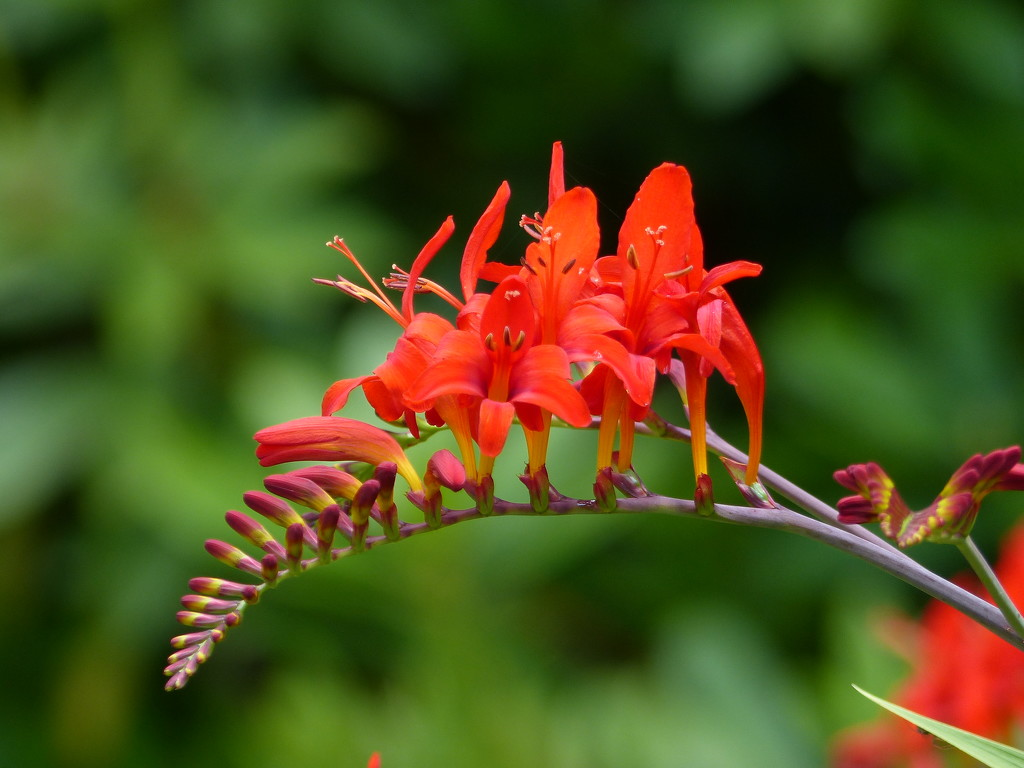 Crocosmia Lucifer  by susiemc