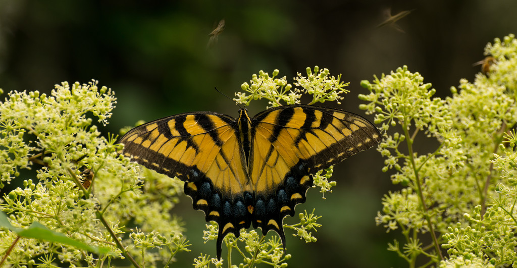 One More Eastern Tiger Swallowtail Butterfly With the Bee's!!! by rickster549