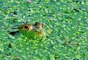 13th Jul 2017 -  Frog Eyes