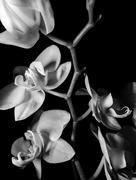 10th Jul 2017 - Orchid