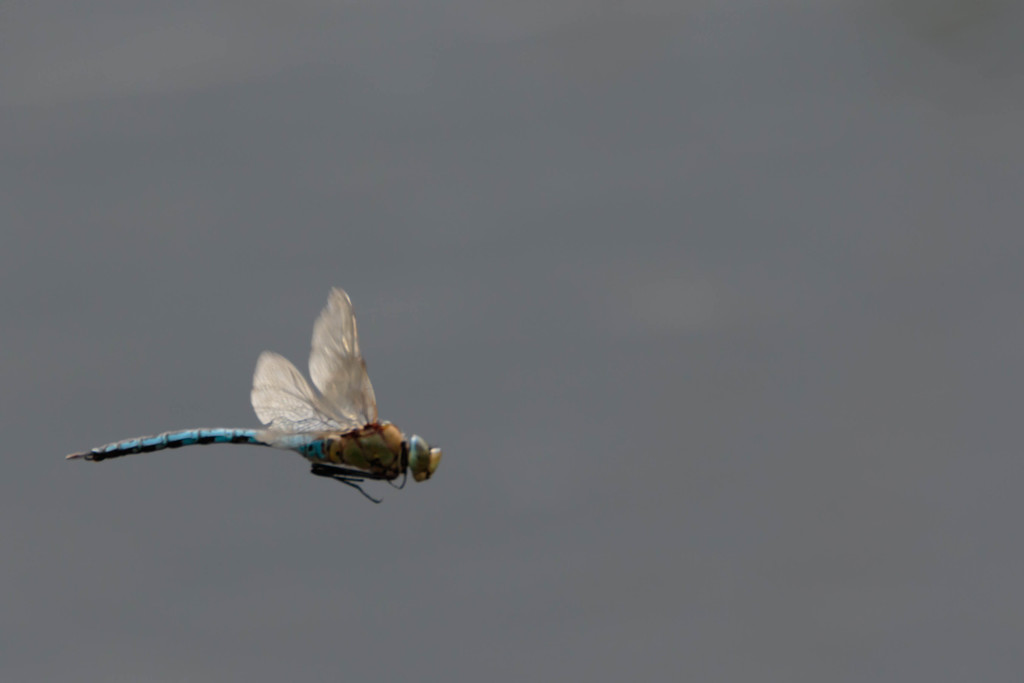 Dragonfly in Flight by padlock