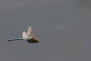 13th Jul 2017 - Dragonfly in Flight