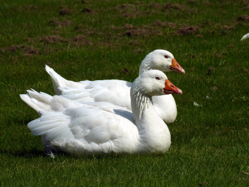 Guard Geese by cmp