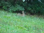 12th Jul 2017 - Bunny in Neighbor's Lawn