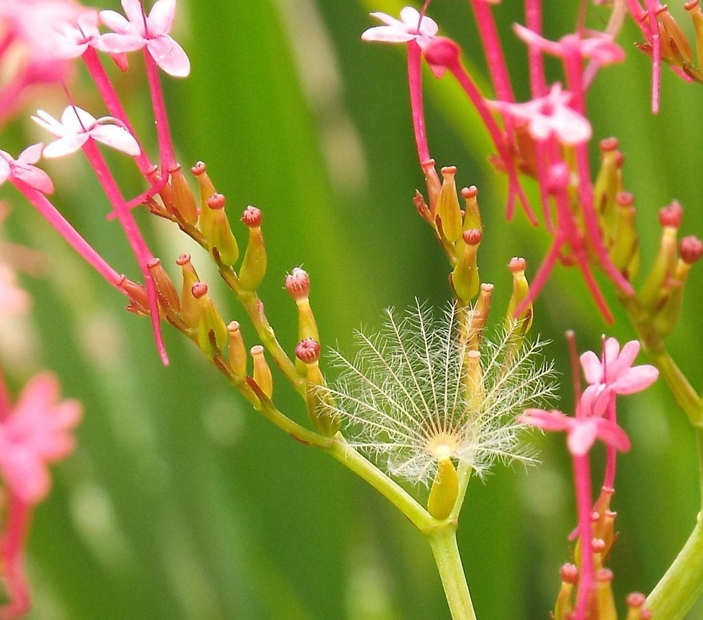 Centranthus Ruber by suzanne234