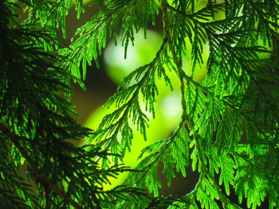Evergreens by seattlite