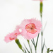 Dianthus by dorsethelen