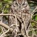 My Owl, again