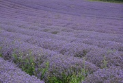 15th Jul 2017 - Gorgeous Lavender Fields
