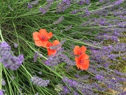 14th Jul 2017 - Lavender and Poppies