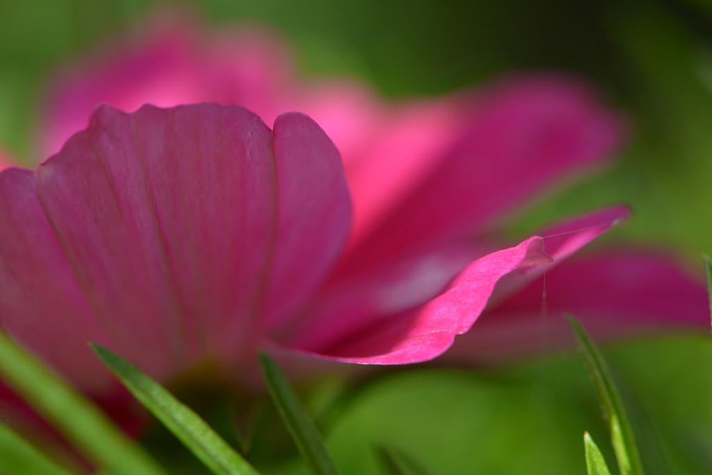 Flowy Petals....... by ziggy77