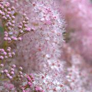 16th Jul 2017 - pink fluff