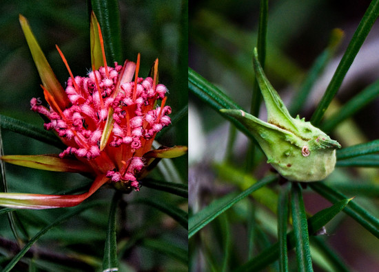 Lambertia formosa by annied