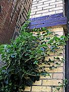 10th Jul 2017 - vine and brick