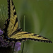 Swallowtail Butterfly on a Teasel by skipt07